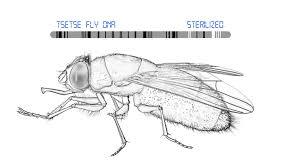 Tsetse fly